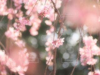 花,桜,ピンク,しだれ桜,ピンク色,pink,愛知県,草木,さくら