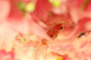 カラフル,綺麗,キラキラ,金魚,華やか,ピンク系,和の世界