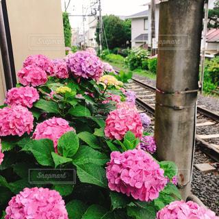 風景,ピンク,電車,あじさい,線路,紫陽花,鎌倉,ピンク色,草木
