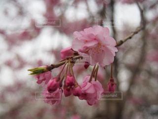 風景,春,桜,ピンク,浅草,花見,お花見,ピンク色,草木,さくら