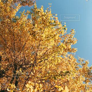 空,紅葉,木,青空,葉,イチョウ,銀杏,秋空