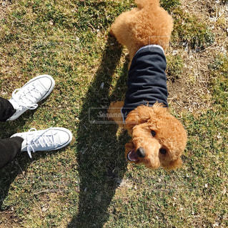 犬が熊のぬいぐるみをくわえています。の写真・画像素材[1804785]