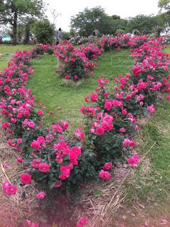 自然,ピンク,バラ,ハート,バラ園,鹿児島