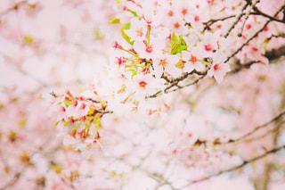 桜,ピンク,桃色,大河原,桜、ピンク、桃色