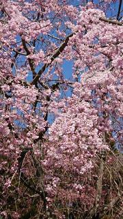 春,桜,京都,ピンク,桃色,醍醐寺