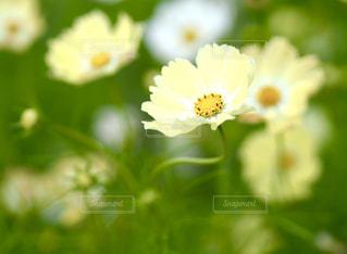自然,花,秋,京都,コスモス,黄色,亀岡