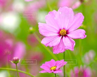 自然,花,秋,京都,ピンク,コスモス,亀岡