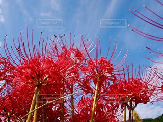 風景,空,花,赤,彼岸花,奈良,秋空