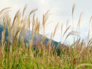 風景,空,秋,ススキ,大山,鳥取