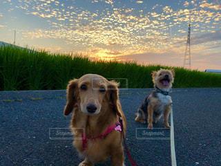 犬,風景,空,秋,大阪,雲,夕焼け,うろこ雲,秋空