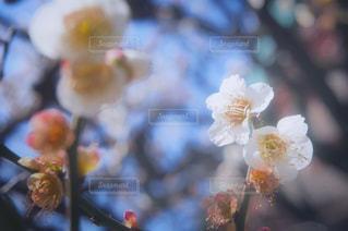 空,花,春,冬,屋外,白,梅,青空,青,枝,黄色,花見,景色,日差し,樹木,お花見,玉ボケ,思い出,草木,エモーショナル,淡い,柔らかい,エモい,春色