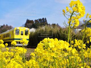フィールド内の黄色の花の写真・画像素材[1839034]