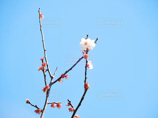 桜と青空の写真・画像素材[1860515]