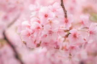 花,春,桜,屋内,ピンク,枝,手,景色,満開,草木,桜の花,さくら,ブルーム,ブロッサム