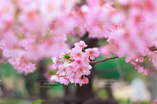 花,春,桜,ピンク,緑,景色,鮮やか,満開,草木,桜の花,ブルーム,ブロッサム