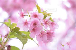 花,桜,ピンク,景色,満開,キラキラ,草木,葉桜,きらきら,さくら,ブルーム,ブロッサム