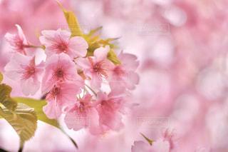 花,春,桜,ピンク,景色,満開,草木,桜の花,葉桜,さくら,ブルーム,ブロッサム