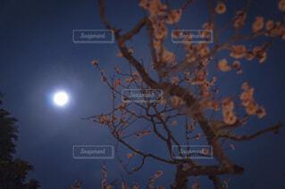 自然,風景,空,桜,紅葉,森林,夜空,屋外,梅,景色,樹木,月,満月,明るい,景観,草木