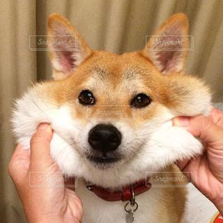 小さな白い犬を持っている手の写真・画像素材[1444561]