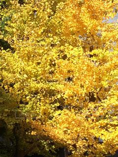 銀杏の木の写真・画像素材[1646367]