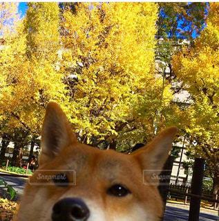 銀杏と柴犬の写真・画像素材[1646377]