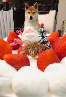 クリスマスケーキと犬の写真・画像素材[1680115]