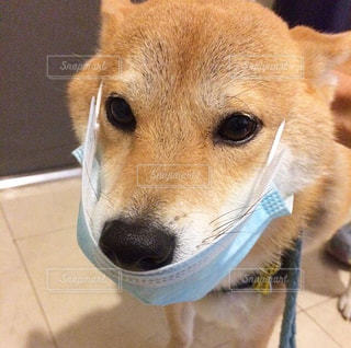 マスク犬の写真・画像素材[1681671]
