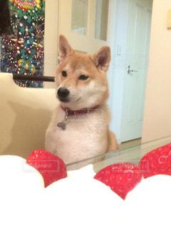 苺ショートケーキの前座っている犬の写真・画像素材[1689217]
