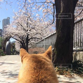 桜を見る犬の写真・画像素材[1836671]