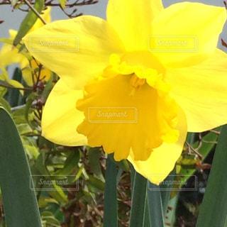 黄色の花の写真・画像素材[1847482]