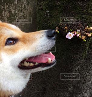 桜咲いたねの写真・画像素材[1858588]