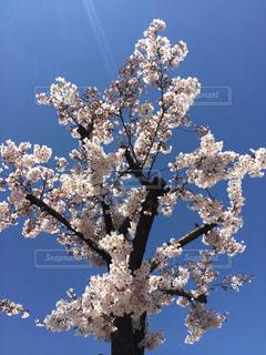 桜の写真・画像素材[1885238]