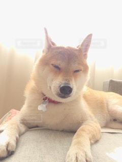ミルクティー色の犬の写真・画像素材[2027173]