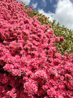 花,ピンク,綺麗,晴れ,鮮やか,暖かい,ツツジ,お散歩,鹿児島県,日中,霧島市