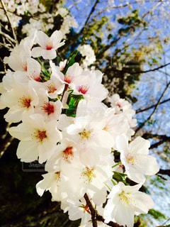 花,春,桜,植物,晴れ,満開,暖かい,宮崎県,宮崎市,ぴんく,インスタ映え