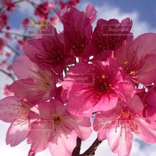 桜,ピンク,沖縄,緋寒桜,人見知り