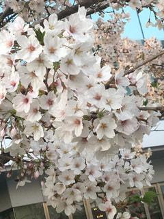 花,桜,横浜,みなとみらい,剛桜