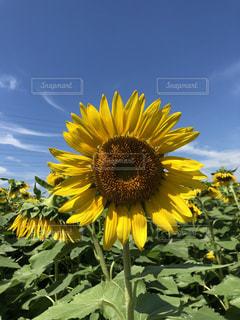 黄色の花の写真・画像素材[1436905]