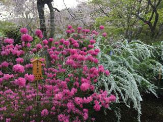 花,冬,京都,ピンク,フラワー,お花,旅行,つつじ,吉野躑躅
