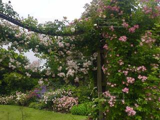 公園,花,海外,ピンク,フラワー,バラ,ロンドン,リージェンツ・パーク