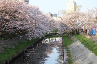 桜,ピンク,ピンク色,pink,あけぼの