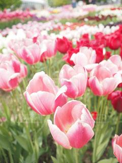 花,ピンク,綺麗,チューリップ,チューリップ畑,癒し,ピンク色,桃色,pink,tulip,砺波