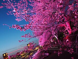 花,桜,ピンク,綺麗,鮮やか,ピンク色,富山,pink,環水公園,ピンクピンク,ライトアップ桜