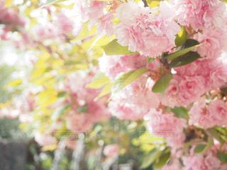 公園,花,屋外,ピンク,綺麗,桃,桃色,pink,薄ピンク,優しい雰囲気