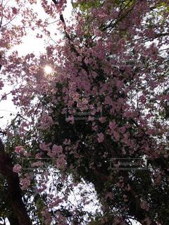 空,桜,ピンク,ひかり