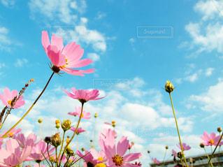 空,花,秋,屋外,ピンク,コスモス,散歩,花びら