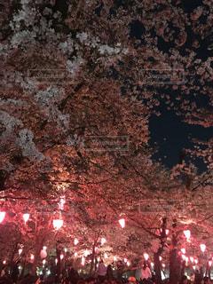 桜,ピンク,綺麗,夜桜,鶴舞公園,名古屋市