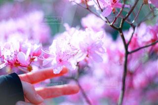 花,春,ピンク,鮮やか,ツツジ,ふんわり,指先,草木