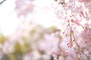 自然,花,春,桜,ピンク,光,桜色,草木,さくら