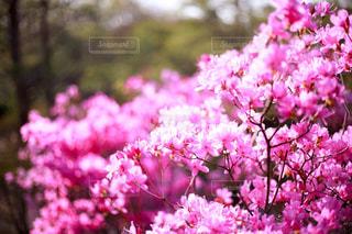 花,春,ピンク,光,満開,ツツジ,桃色,つつじ